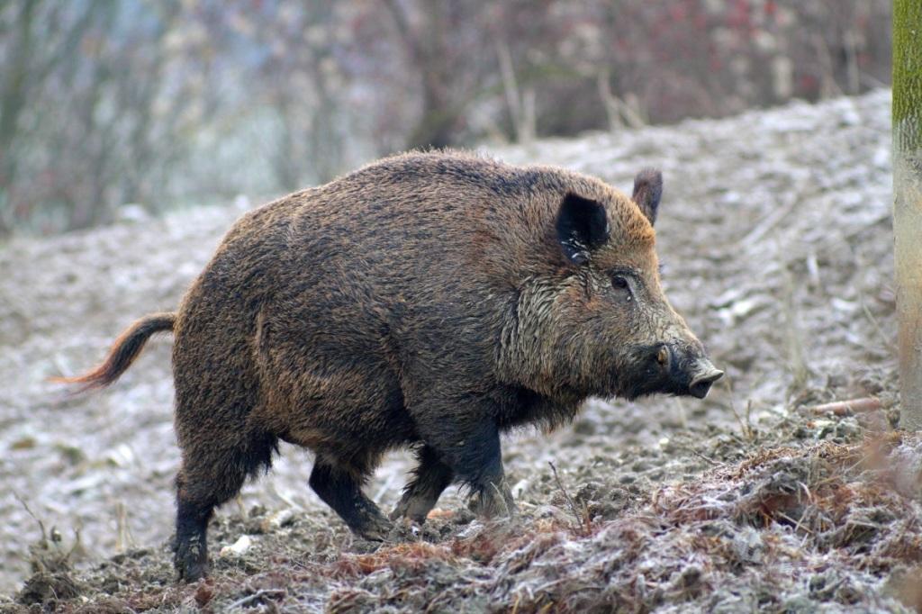 Il Cinghiale è molto presente nelle aree boschive dell'Umbria