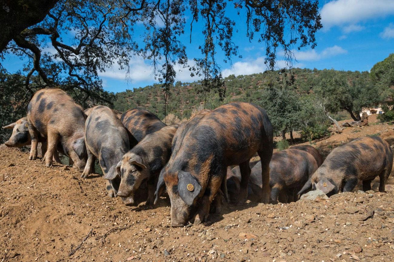 La rivincita del maiale Manchado de Jabugo - allevamenti