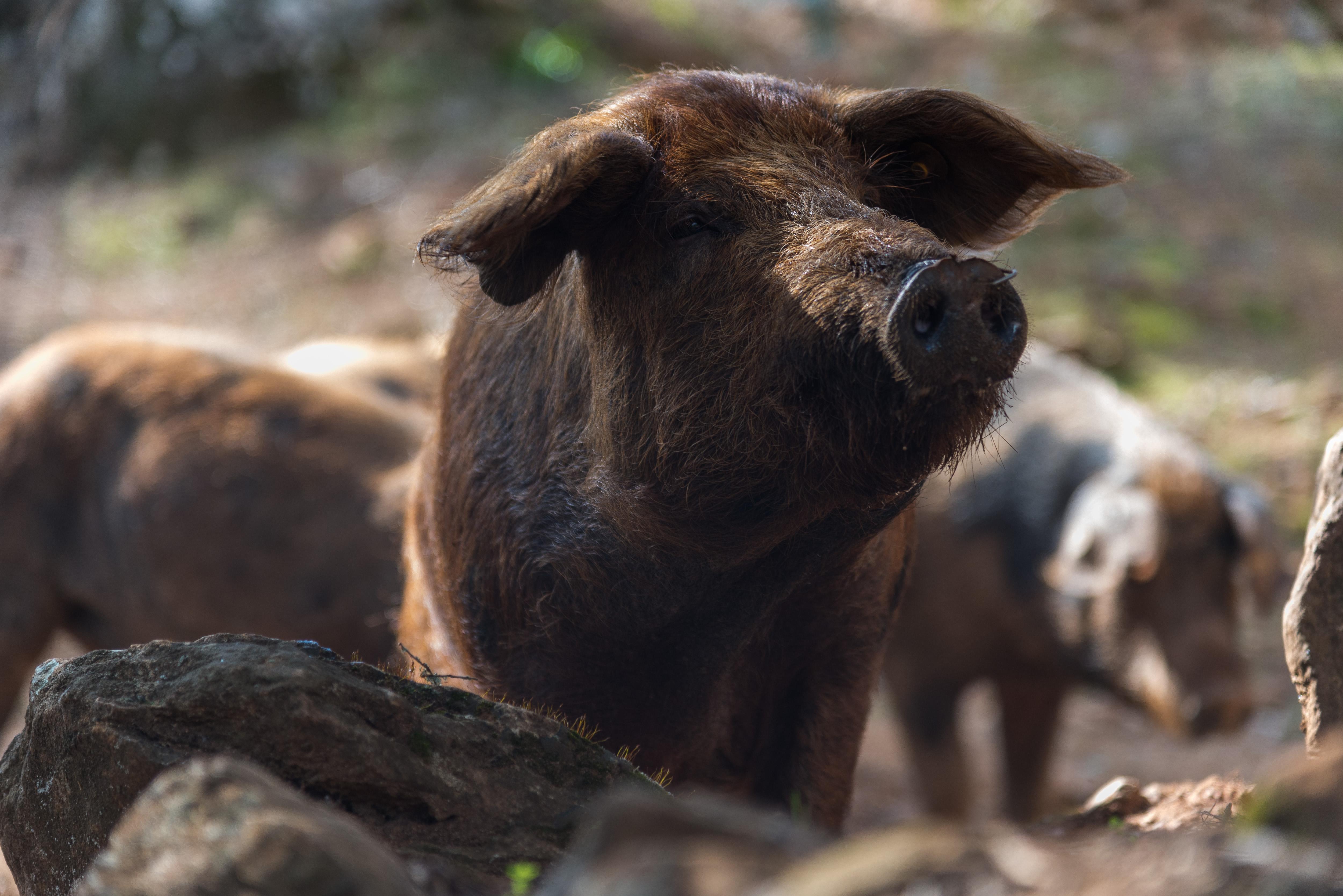 La rivincita del maiale Manchado de Jabugo