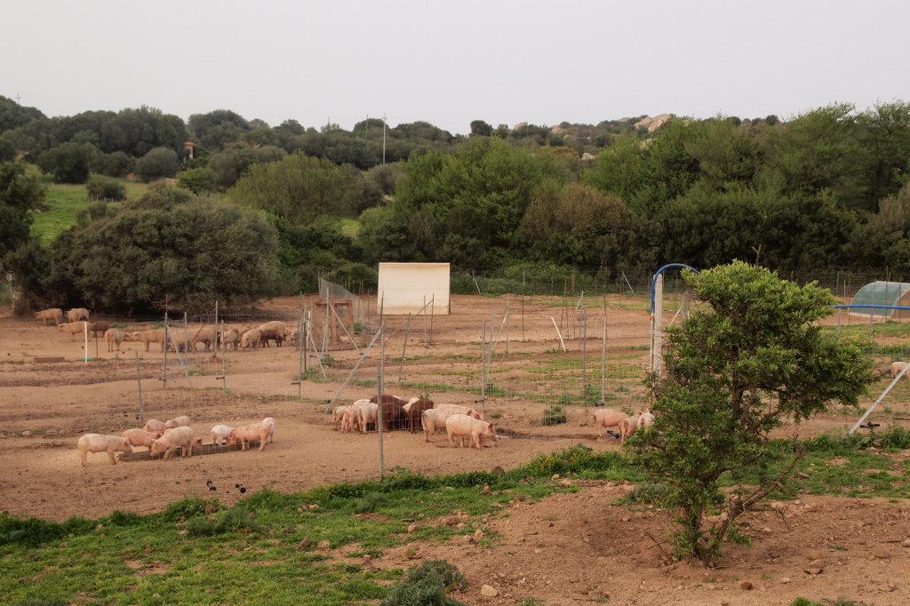 Gallura Pig maiali allo stato brado