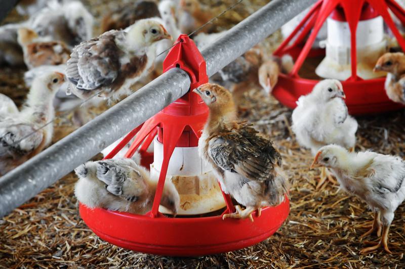 carne antibiotici pollo